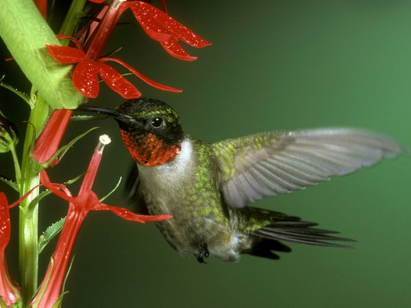 Humming Bird Wings beating about 53 times per second